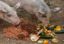 なぜ豚肉は禁止なのか?